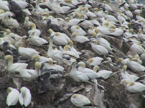 one of the most accessible Northern Gannet colonies in the world