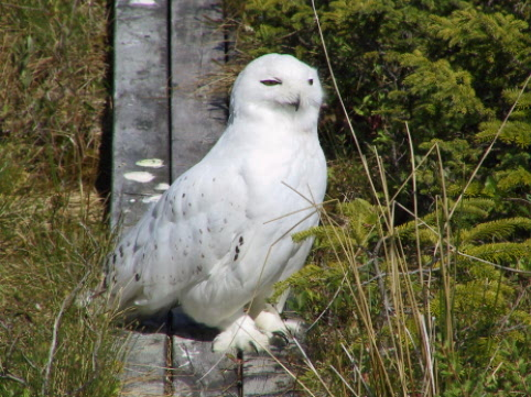 A snowy owl at the park